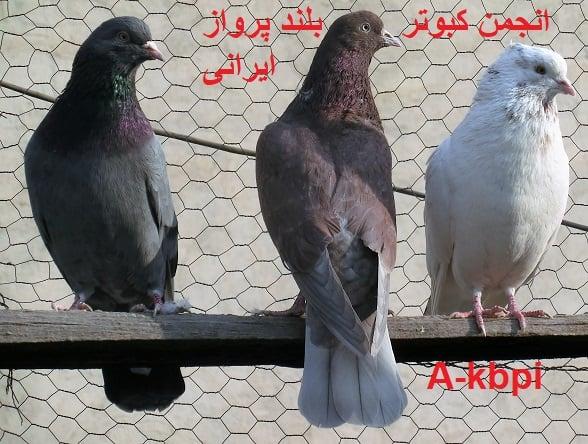 سه طوق از کبوتر های بام انجمن
